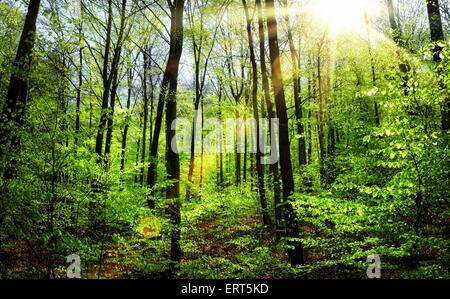 El sol brillaba cálidamente a través del muelle de follaje fresco en un bosque de hayas Foto de stock
