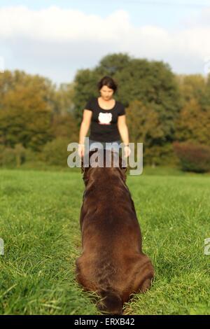 Labrador Retriever sentado