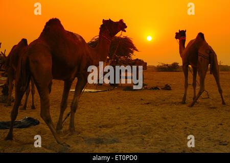 Los camellos al atardecer en Pushkar fair ; ; Rajasthan India