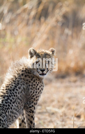 Guepardo joven cachorro en Phinda Private Game Reserve, Sudáfrica Foto de stock
