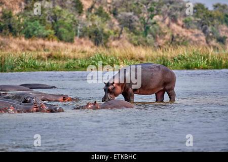 Hipopótamos, Hippopotamus amphibius, Parque Nacional de Murchison Falls, Uganda, África