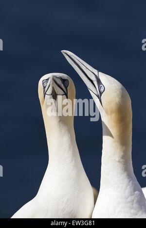 Norte de alcatraces (Morus bassanus) adulto par, cerca de la cabeza y cuello, en SKY-apuntando pantalla, Bass Rock, Foto de stock
