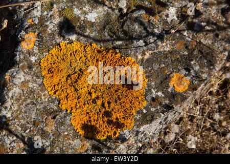 Liquen naranja sobre una roca en Gruissan, Languedoc-Roussillon, Francia. Liquen es un organismo compuesto que surge de las algas o las cianobacterias (o ambos) que viven entre filamentos de un hongo en una relación mutuamente beneficiosa (symbiotoc relación). Toda forma de vida combinada tiene propiedades que son muy diferentes de las propiedades de sus componentes de los organismos. Líquenes vienen en muchos colores, tamaños y formas. Las propiedades son a veces similares a las plantas, pero los líquenes no son plantas.