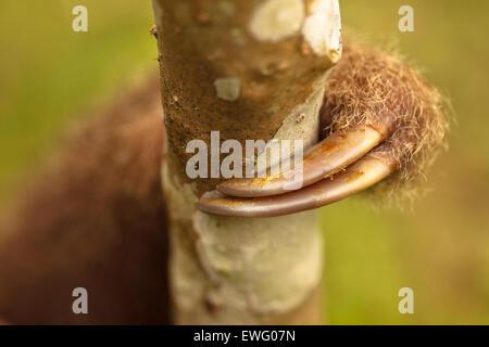 Detalle vetado. Hoffmann dos dedos cada (Choloepus hoffmanni) perezosos Aviarios del Caribe. Costa Rica. América