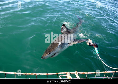 Gran tiburón blanco Buceo en Jaula de Mossel Bay, Sudáfrica