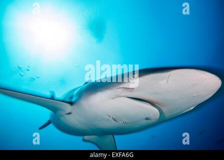 Una hembra de tiburón sedoso con mordeduras infligidas por un macho durante el apareamiento, isla Socorro, México