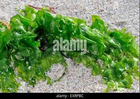 La lechuga de mar (Ulva lactuca) lavados en la playa