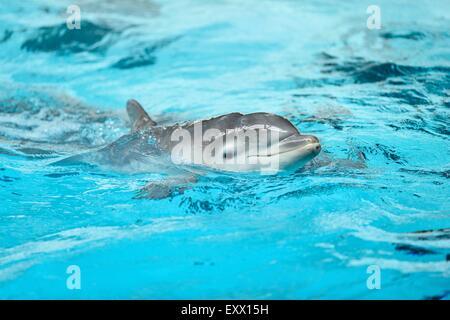Joven delfín mular común en un zoológico