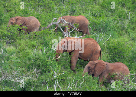 Un grupo de Elefantes Africanos (Loxodonta africana), alimentándose de una colina, Tsavo West, Kenya