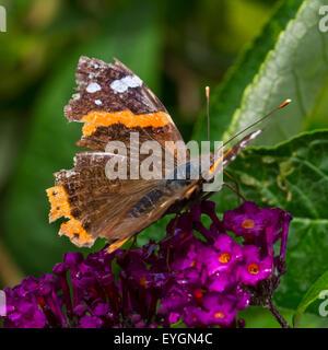 Almirante rojo (Vanessa Atalanta) mariposa con las alas gravemente dañados Foto de stock