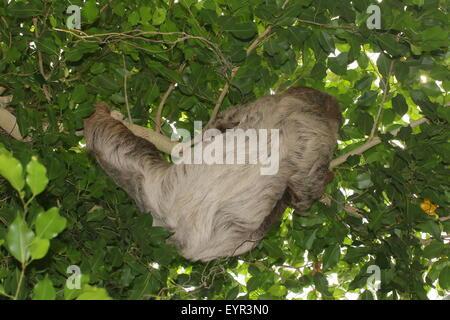 South American Linnaeus dos vetado pereza o del Sur dos dedos cada sloth (Choloepus didactylus)
