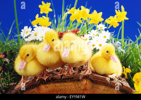 Domestic Duck (Anas platyrhynchos f. domestica), pato polluelos en decoración de Pascua