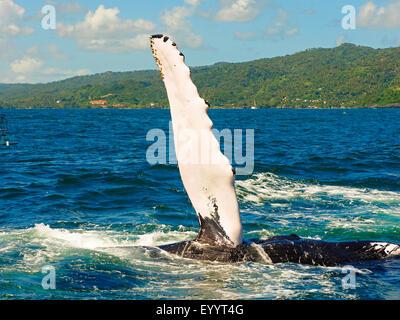 La ballena jorobada (Megaptera novaeangliae), la ballena jorobada bofetadas su aleta, Samana, República Dominicana