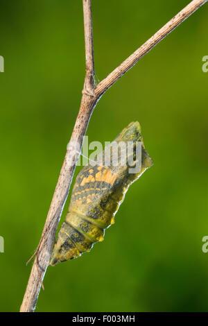 Especie (Papilio machaon), pupa a punto de eclosionar, brilla a través de la mariposa, Alemania