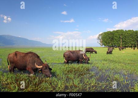 El búfalo de agua asiático, Wild Water Buffalo, carabao (Bubalus bubalis, Bubalus arnee), Wild Water Búfalos pastando en una pradera inundada, Grecia, el lago Kerkini