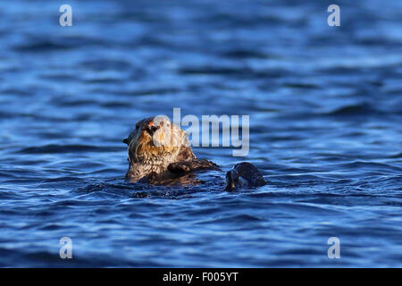 Nutria marina (Enhydra lutris), natación, Canadá, Vancouver Island