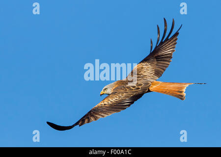 Milano real (Milvus milvus), en vuelo, vista lateral, Valais, Suiza Foto de stock
