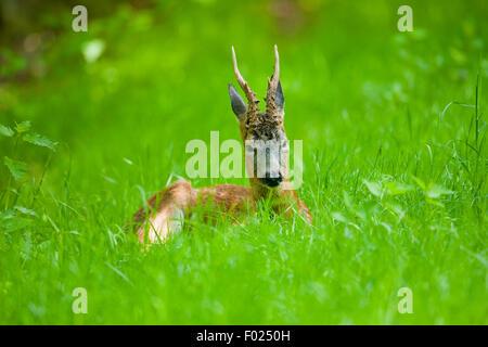 El corzo (Capreolus capreolus), Buck descansando en una pradera, Baja Sajonia, Alemania Foto de stock