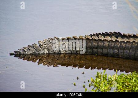 Cola de cocodrilo sentado a lo largo de la costa de Florida en un pantano Paynes Prairie