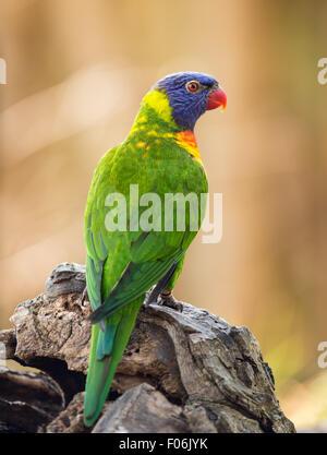 Retrato de rainbow lorikeet (Trichoglossus haematodus Moluccanus) posando sobre un árbol