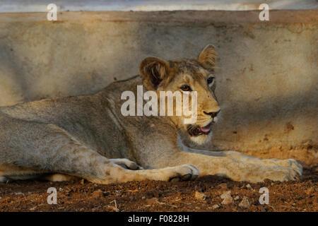 Juveniles de león (Panthera leo persica) en el parque nacional de Gir, Gujarat, India