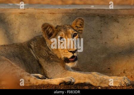 Los menores León asiático (Panthera leo persica) en el parque nacional de Gir, Gujarat, India