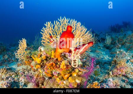 Ascidia roja en el Arrecife de Coral, Halocynthia papillosa, Massa Lubrense, Campania, Italia