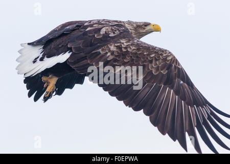 Una foto de un águila de cola blanca, Haliaeetus albicilla, volando