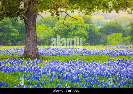 Bluebonnet campo debajo de una encina cerca de Llano, Texas