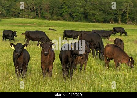 Numerosas vacas Kerry pastando en exuberantes pastos en el Parque Nacional de Killarney, Condado de Kerry, Irlanda