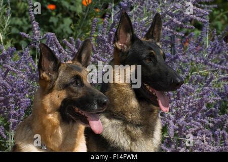 Dos perros Pastor Alemán delante de flores de lavanda