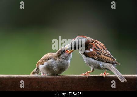 Gorrión común macho / gorrión (Passer domesticus) alimentar a los niños en el jardín vallado en verano