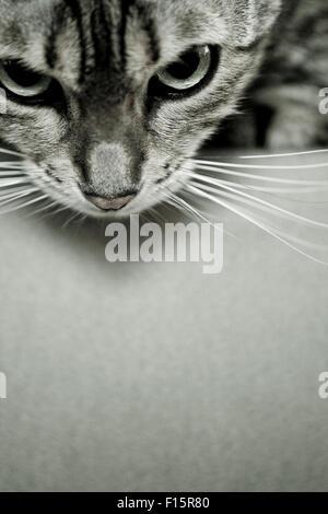 Close Up retrato de manchada de Savannah Cat mirando hacia abajo sobre el borde de la superficie