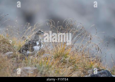 Lagopus muta / Rock Ptarmigan / Alpenschneehuhn en hábitat natural.