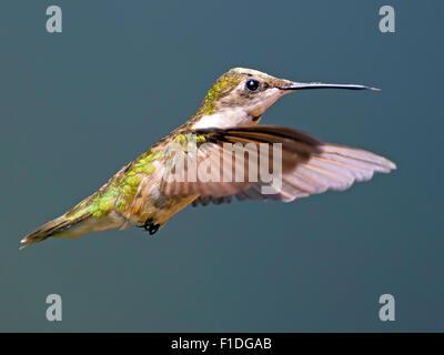 Ruby hembra-throated Hummingbird Foto de stock