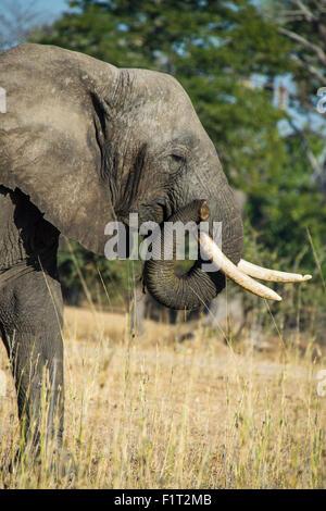 Bush elefante africano (Loxodonta africana), el Parque Nacional de Liwonde, Malawi, Africa. Foto de stock