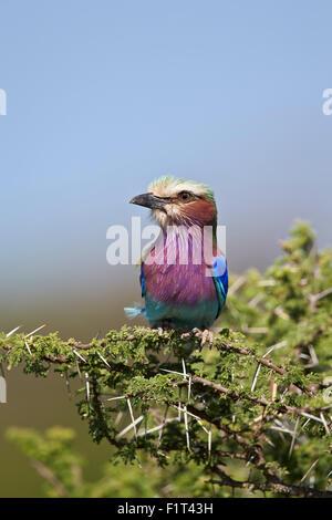 Lila-breasted rodillo (Coracias caudata), el Área de Conservación de Ngorongoro, Sitio del Patrimonio Mundial de la UNESCO, el Serengueti, Tanzania