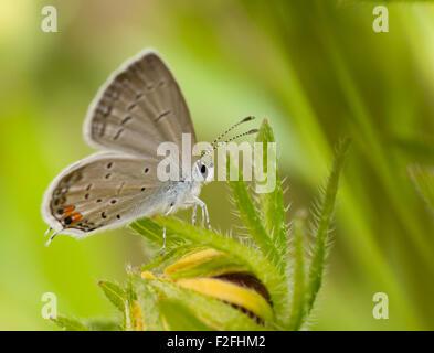 Mariposa, Everes Tailed-Blue oriental comyntas, descansando sobre una flor de verano Black-Eyed Susan contra fondo Foto de stock