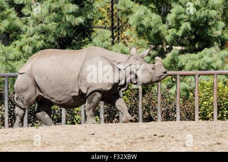 El rinoceronte indio (Rhinoceros unicornis) en el Zoológico de Varsovia, Polonia