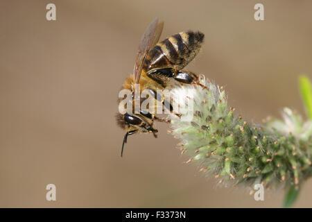 Occidental Europeo de miel de abejas o miel de abejas (Apis mellifera) en una cabra flor de sauce (Salix caprea), Turingia, Alemania