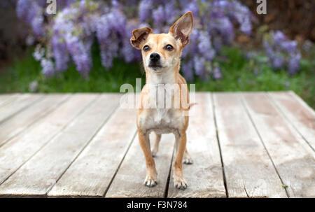 Pequeña mascota perro chihuahua destaca sobre cubierta de madera tableros con su oreja delante de glicinias.