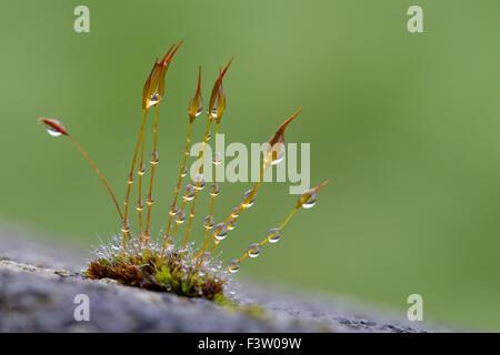 Tornillo de pared-MOSS (Tortula muralis) creciendo en un muro de hormigón, con gotas de lluvia. Powys, Gales. De abril. Foto de stock