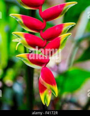 El Wildflower, colgando Lobster Claw, Heliconia rostrata, Heliconiaceae, Hawai'i Jardín Botánico Tropical Nature Foto de stock