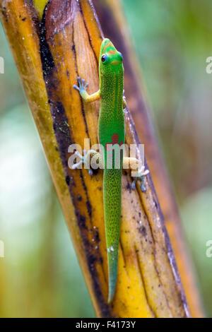 Madagascar; geco diurno Phelsuma madagascariensis madagascariensis, Hawai'i Jardín Botánico Tropical Nature Preserve; Isla Grande