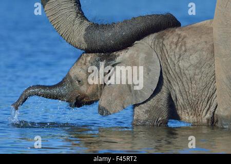 Elefante africano (Loxodonta africana) de la pantorrilla en el agua con la madre tranquilizadora descansando en Foto de stock