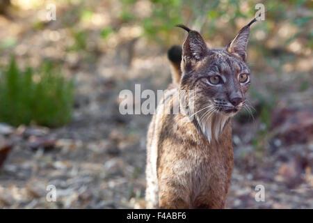 O el lince ibérico Lynx pardinus en el parque de vida silvestre