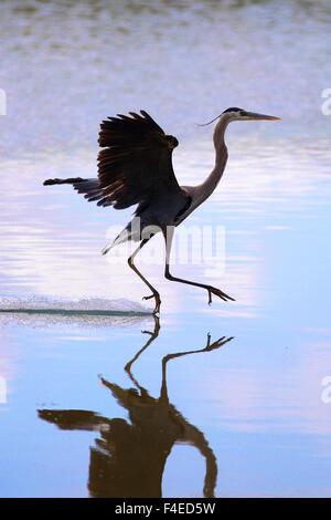 California, Estados Unidos, junto al lago, el Great Blue Heron aterrizaje. Crédito: Christopher Talbot Frank / Galería Foto de stock