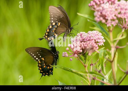 Spicebush Swallowtails (Papilio Troilo) masculino y femenino el comportamiento de cortejo cerca de pantano (Asclepias Foto de stock