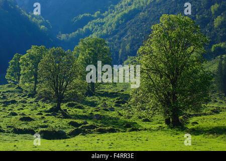 Acer pseudoplatanus, arce, árbol, montaña, sicomoros, montañas, árboles, montañas, cantón Primavera Glaris, Suiza, verde