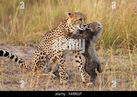 El guepardo (Acinonyx jubatus), de seis semanas de edad cheetah cub jugando con su madre, Reserva Nacional Maasai Mara, Condado de Narok, Kenia Foto de stock